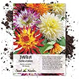 Seed Needs, Cactus Dahlia Mix (Dahlia variabilis) 100 Seeds