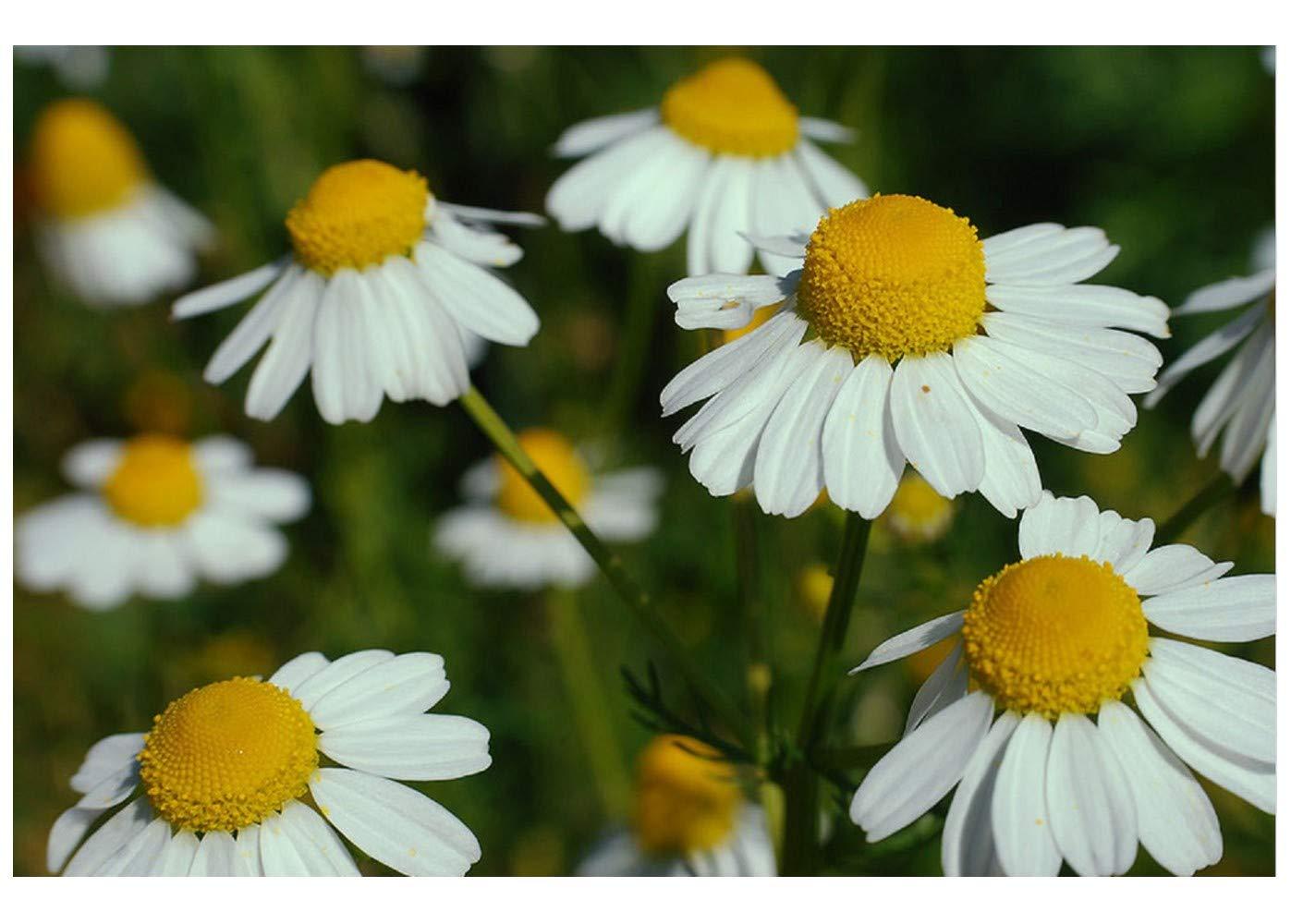 German Chamomile (Matricatia Recuitu) Organic - 1.5 gm approx 18000 seeds Premier Seeds Direct ORG189