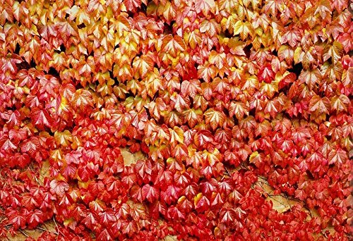 [(Boston Ivy *Ambizu*) 50pcs Fun Green Boston Ivy Seeds Red Boston Ivy Seedshome Gardening (Boston Red)] (Water Blossom Ivy Type)