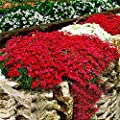 SSXY Plant Flower Seeds Rare Creeping Thyme Seeds with 100pcs 1bag Climbing Plant Orchard