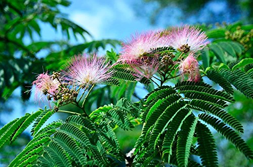 Package of 100 Seeds, Sensitive Plant Seeds- Mimosa Pudica, Moving Plant, Shy Plant, Shameful Plant, Touch-me-not - Green Plant for Garden Decoration