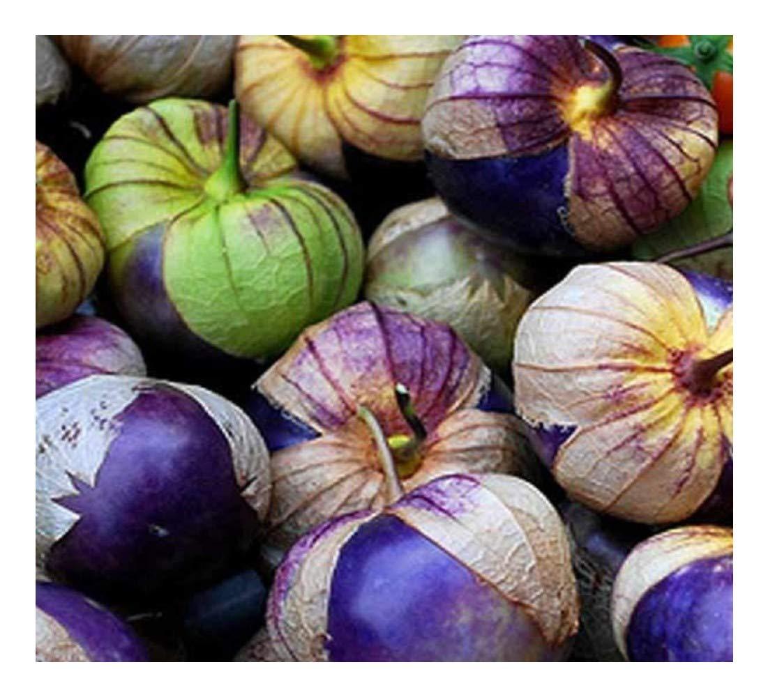 Premier Seeds Direct Tomatillo Purple Physalis Ixocarpa Organic/Bio Seeds (Pack of 60)