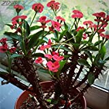 100Pcs Pink Chinese Euphorbia Milii Seeds Bonsai Rare Cheap Splendens Easy Grow Potted Decor for The Garden and The Yard