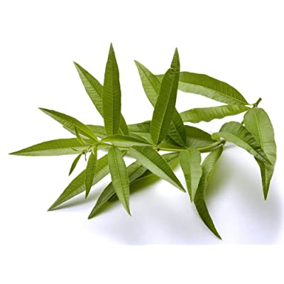 "Lemon Verbena Plant - Perennial Herb - Aloysia - Indoors or Out - 4"" Pot by AchmadAnam : Garden & Outdoor"
