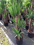 Yucca - 3 Gallon Live Plant - 4 pack