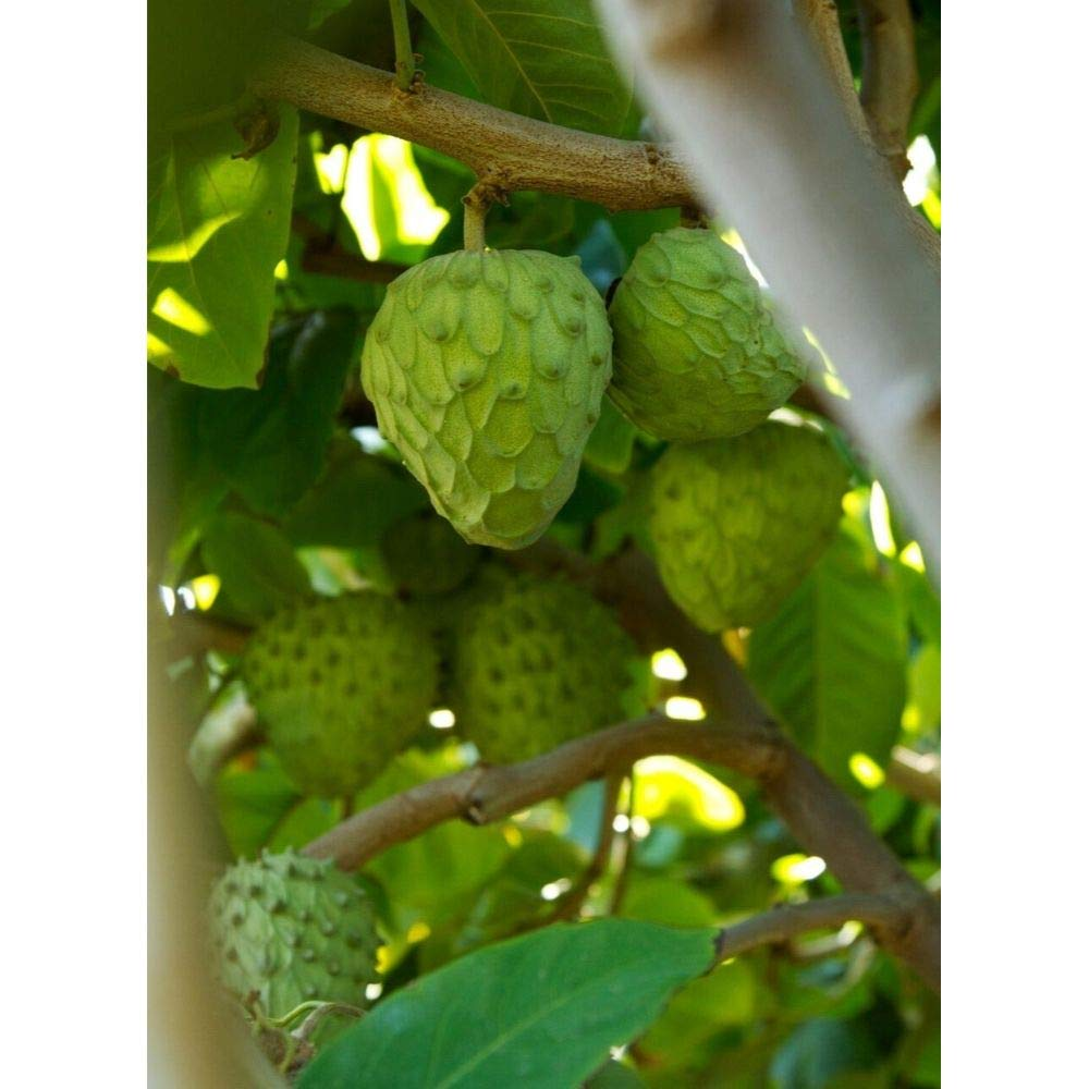 Honeyhart Cherimoya Tropical Fruit Trees 3-4 Feet Height in 3 Gallon Pot #BS1 by iniloplant (Image #1)