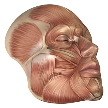 Amazon Anatomy Of Human Face Muscles Poster Print 28 X 28