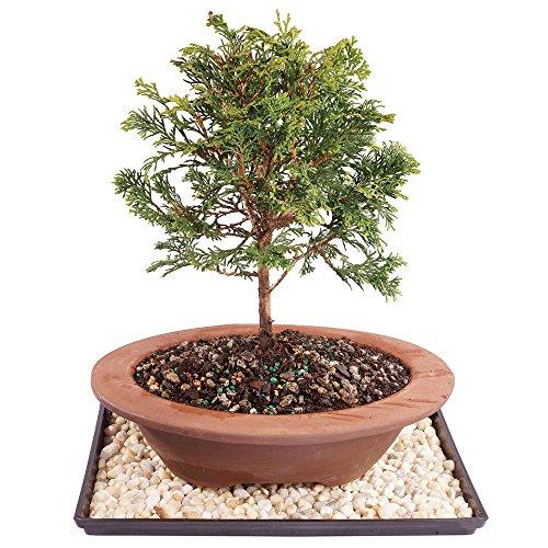 Hinoki Cypress Bonsai (Brussel's Dwarf Hinoki Cypress Bonsai - Large (Outdoor) with Humidity Tray & Deco Rock)