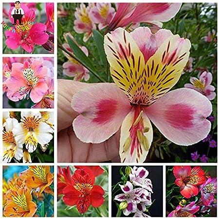 Amazon Com 50pcs Rare Peruvian Lily Alstroemeria Seeds Mix Color