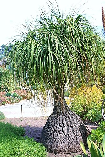 , Rare Elephant Foot Ponytail Palm Caudex Bonsai 100 Seeds ()