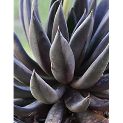 Plant- Echeveria Black Knight Succulent Rare : Garden & Outdoor