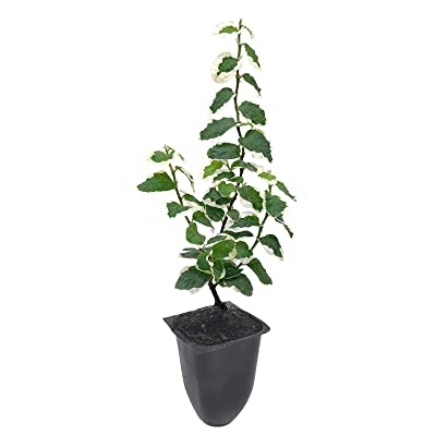 Variegated Creeping Fig Vine - Ficus Pumila Variegata - 3 Live Fully Rooted 2 Inch Plants - Climbing Ivy : Garden & Outdoor