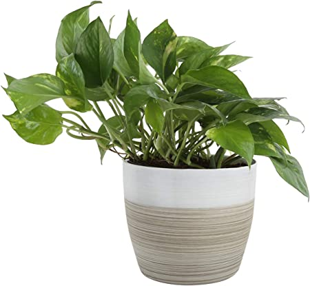 Costa Farms Devil's Ivy Golden Pothos White-Natural Decor Planter Live on bromeliads house plant, white butterfly house plant, marble queen house plant, white house with green leaf plant, dumb cane house plant, ferns house plant, chinese evergreen house plant, dragon's tongue plant, take care pothos plant, poison ivy's plant, chinese evergreen indoor plant, different types house plant, heart leaf philodendron house plant, big house with green leaves plant,