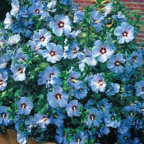 15+ Blue Rose of Sharon Hibiscus Flower Seeds/Perennial (Blue Rose Of Sharon)
