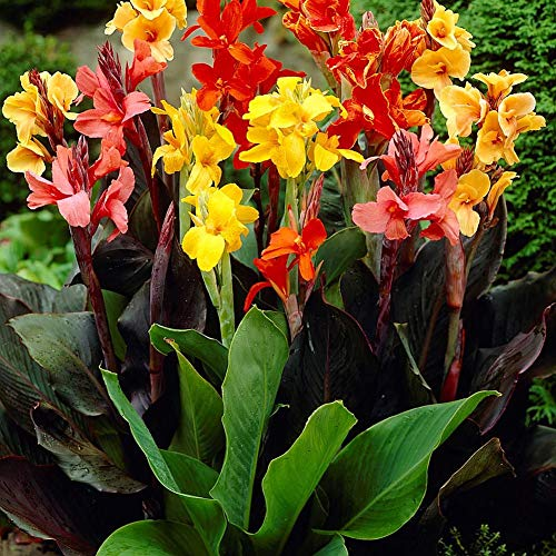 Canna Dwarf Mixed (5 Bare Roots)