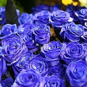 Ncient 50 Semillas de Rosa Azul Bonsai de Jardín Semillas de Flores Plantas Raras para Balcón Interior y Exteriores
