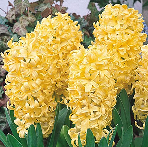 Hyacinth Planter (Beautiful & Fragrant Harlem Hyacinth Blooming Sized Bulb, Great for Indoor Planters)