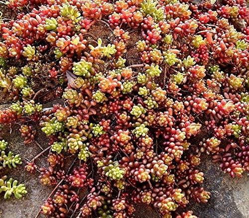 Hardy Stonecrop Sedum Mix Drought Sun Dry Sandy Easy Perennial 50 Seeds