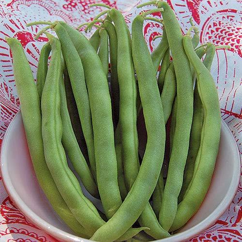 Plentree Kentucky Wonder Bush Bean Seeds 1.5 Oz 100 + Seeds (Wonder Kentucky Bush Beans)
