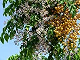 10 Seeds Melia azedarach Chinaberry Tree