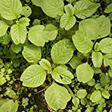 Pigweed Seeds (Amaranthus retroflexus) 40+ Non-GMO Ancient Grain Seeds + FREE Bonus 6 Variety Seed Pack - a $29.95 Value! Packed in FROZEN SEED CAPSULES for Growing Seeds Now or Saving Seeds for Years