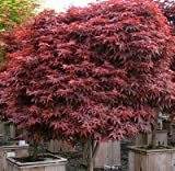 Rhode Island Red Japanese Maple 2 - Year Live Plant