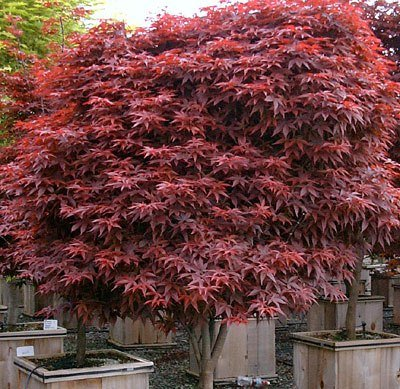 - Rhode Island Red Japanese Maple 2 - Year Live Plant