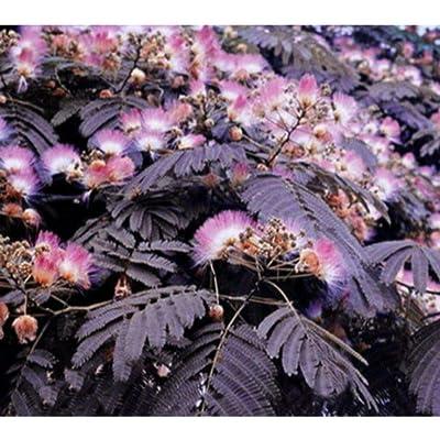 50pcs Seeds Albizia Purple Mimosa Summer Chocolate TreeSeeds Plant : Garden & Outdoor