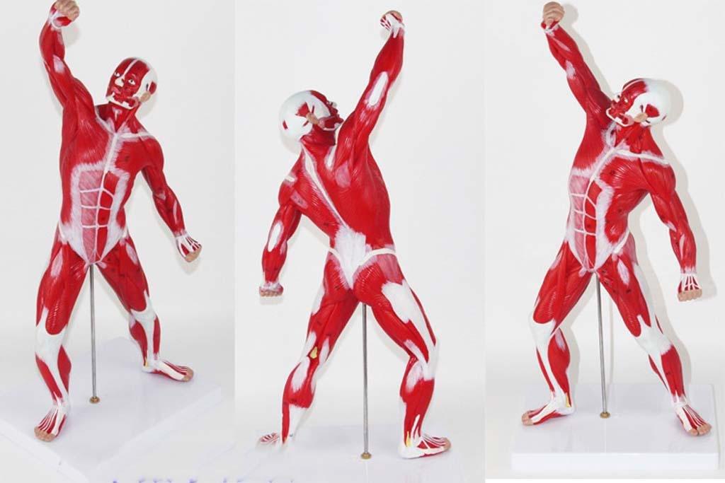 50CM menschliches Muskel-Anatomie-Modell mit Digital-Markierungs ...