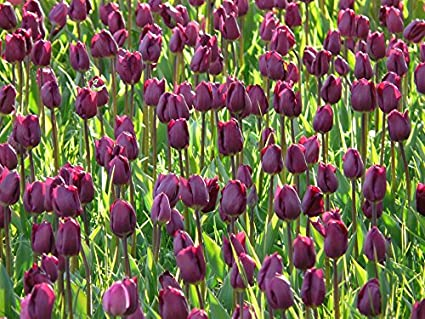 amazon com home comforts framed art your wall tulips violet dark
