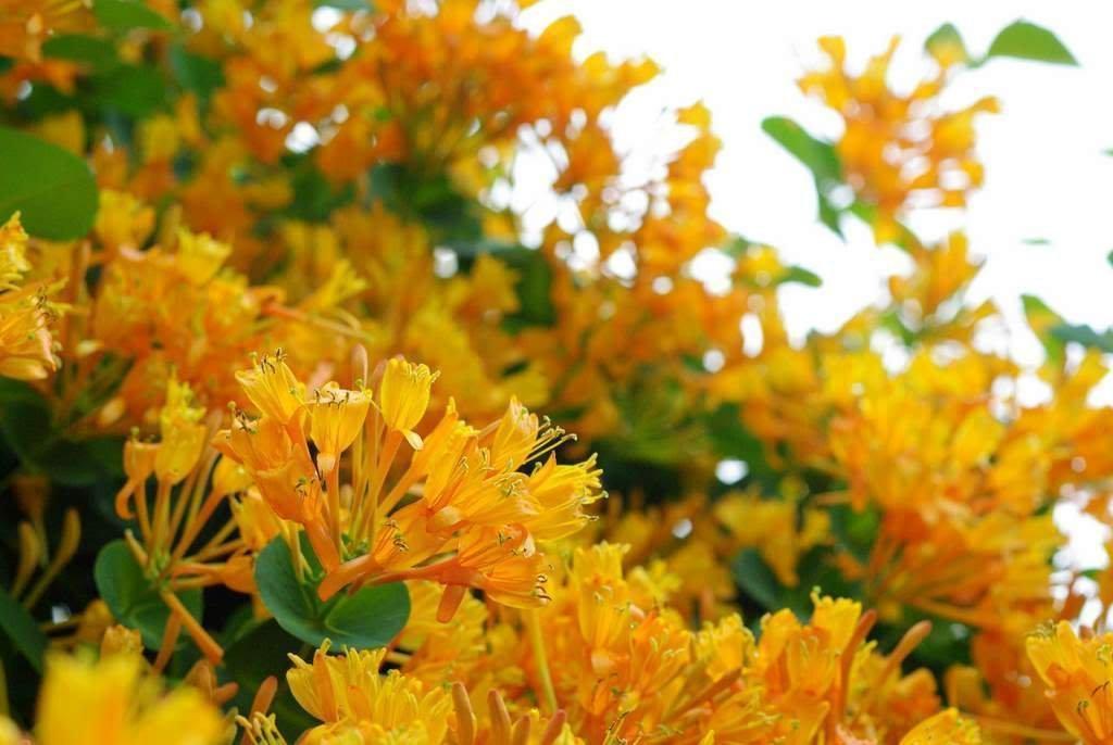 LONICERA 'MANDARIN' - HONEYSUCKLE VINE - STARTER PLANT by SS0029 (Image #1)
