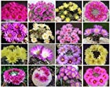 Mammillaria Variety Mix, Sold By EXOTIC CACTUS, Pincushion Cactus Cacti Exotic Rare Succulents Seed 50 Seeds Package