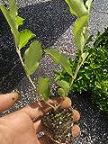 Barbados, Acerola Cherry Tree Plant, Live Plant, Pesticide Free