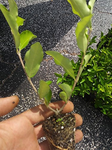 Barbados, Acerola Cherry Tree Plant, 3 Plants, Pesticide