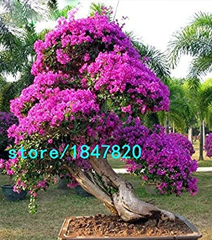 Amazon com : Hot Selling Rare Petunia Tree Seeds Morning Glory Seeds