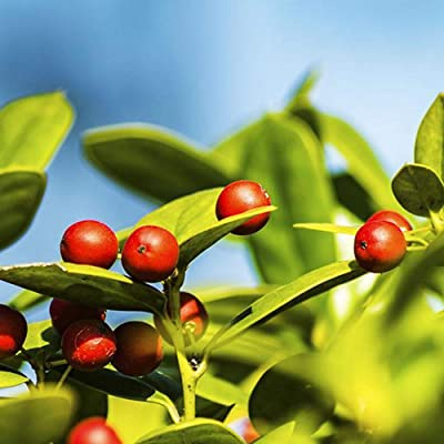 100pcs Holly Seeds, Ilex Verticillata, Shrub Seeds - Evergreen Shrub with Glossy Green Foliage : Garden & Outdoor