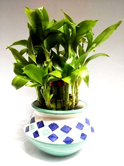 Green plant indoor 2 Layer Lucky Bamboo Plants: Amazon.in: Garden ...