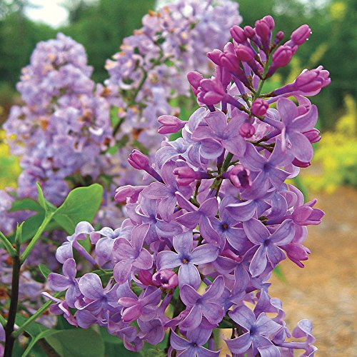 Tiny Dancer Dwarf Lilac - Compact Growth to only 5 Feet - Very Fragrant and Floriferous - 2 Year Live Plant