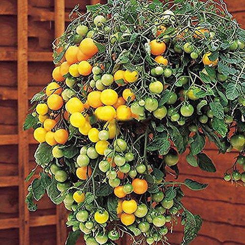 Best Garden Seeds Heirloom Tumbling Tom Yellow Cherry Tomato, 100 Seeds, edible hanging tomato plants