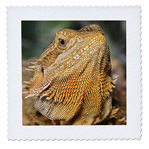 3dRose qs_83647_1 Bearded Dragon, Pogona Vitticeps, Lizard, Reptile NA02 AJE0367 Adam Jones Quilt Square, 10 by 10-Inch