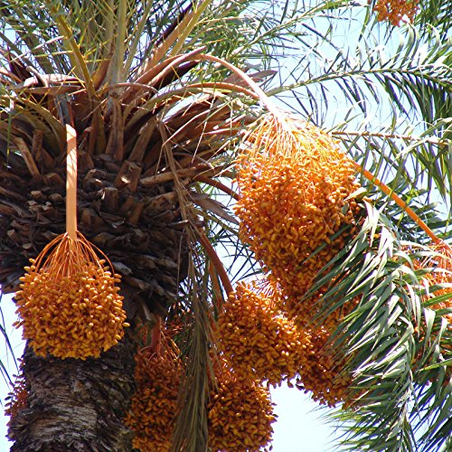 ~SILVER DATE~ Palm Phoenix sylvestris COLD HARDY PALM 12-24+inch 5 LG SEEDLINGS ()