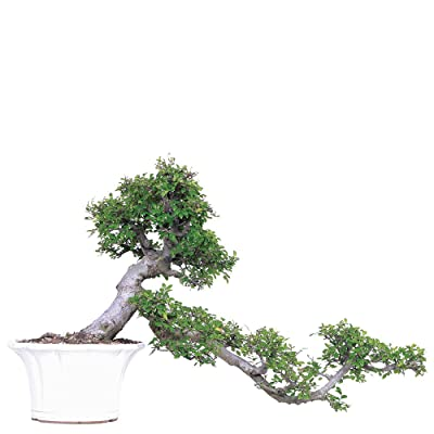 "Brussel's Live Chinese Elm Specimen Outdoor Bonsai Tree - 30 Years Old; 36"" Tall with Decorative Container: Garden & Outdoor"