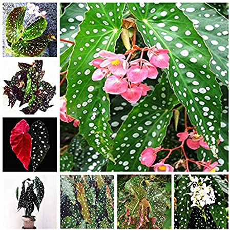Amazon Com 100pcs Bag Begonia Seeds Flower Plant Garden Terrace