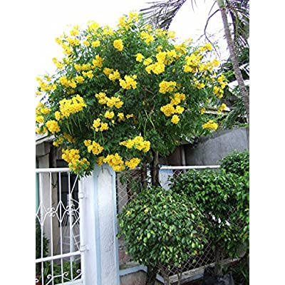 TRUMPET VINE ~Yellow~