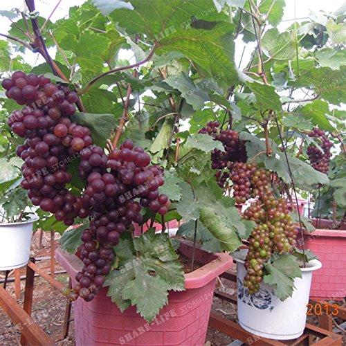 50 Seeds Miniature Grape Vine Seeds Vitis vinifera Organic Fruit Seeds Succulent Plants 5#32789145268ST