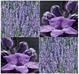 LAVENDER VERA FLOWER HERB Seeds - 4 soap making, aromatic oil sachets - FRAGRANT Aromatic Purple Blooms - 55 - 60 Days - By MySeeds.Co (112000 Seeds - 4 oz)