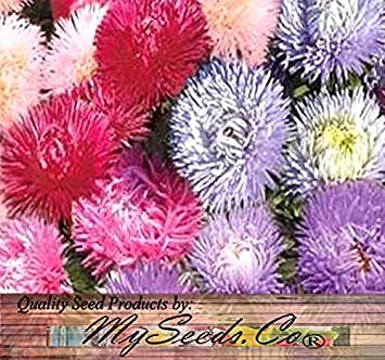 Amazon 1000 aster flower seeds crego mix shaggy feathery 1000 aster flower seeds crego mix shaggy feathery flowers beautiful 2 feet tall mightylinksfo