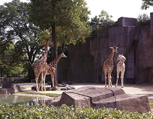 Photograph   Giraffes at Lincoln Park Zoo, Chicago, Illinois  Fine Art Photo Reporduction 55in x -