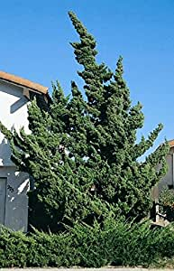 1 Starter Plant of 1-2ft Hollywood Juniper Tree