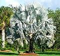 Bismarck Palm Bismarckia nobilis 10 Seeds
